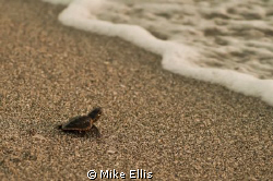 A baby Loggerhead turtle making his way into the world. G... by Mike Ellis 